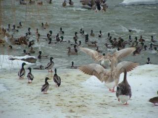 L'aéroport de canard