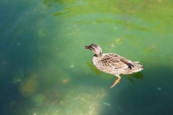 Le canard nage dans l'étang vert