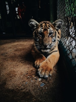 Le petit tigre