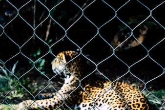 Leopard lié en cage