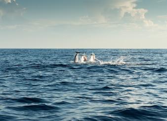 Les dauphins dans l'océan Pacifique