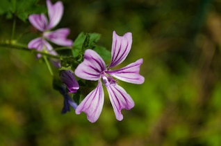Lignes violettes dans les pétales