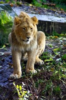 Lion, la bête