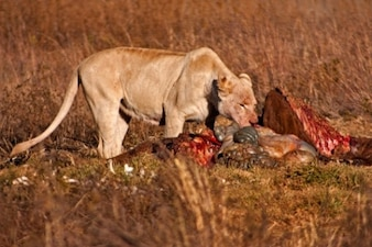 lion proies nsfw