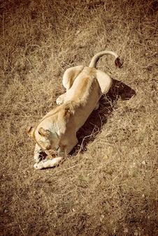 Lionne mange de la viande