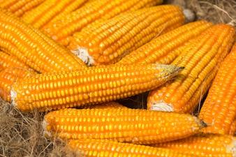 Maïs orange séché sur l'épi, gros plan