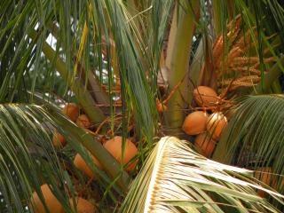 Noix de coco poussent sur un arbre t l charger des - Palmier noix de coco ...