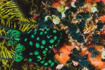 Nudibranch dans l'habitat faunique