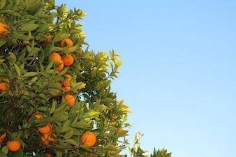 Oranges temps