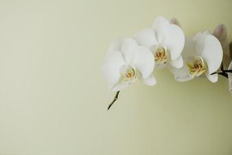 Orchidée en fleurs blanches