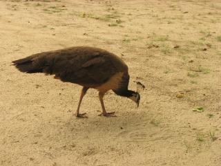 paon, oiseau, animal