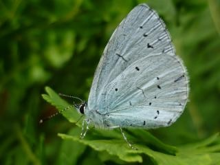 Papillon bleu de houx