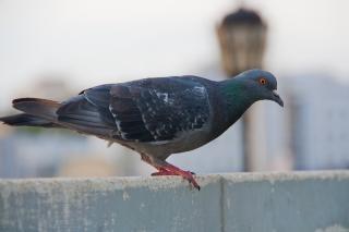 personne ne pigeon
