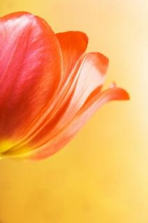 personne ne tulipe rouge