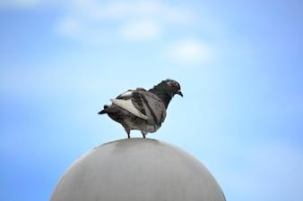 Pidgeon reposant sur une boule de pierre