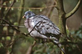 Pigeon, animal, oiseau