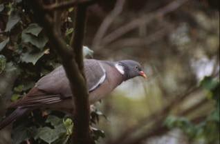 pigeon, animaux, bois