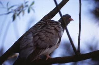 pigeon, arbre