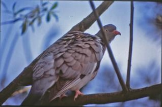 pigeon, branches