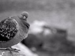 pigeon, noir