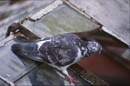 Pigeon, oiseau, animal