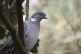 Pigeon, oiseau, arbre