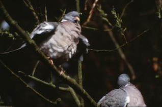 pigeons, des feuilles