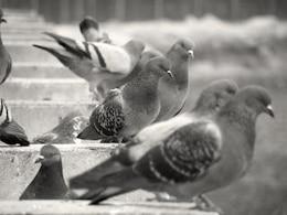 pigeons, les animaux