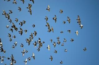Pigeons animaux ciel pigeon oiseau troupeau