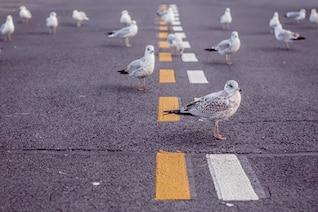 Pigeons sur la route