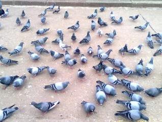 pigeons sur le sol