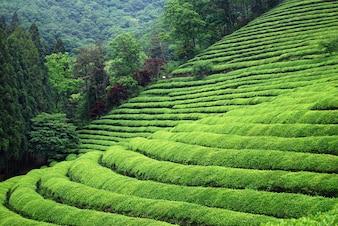 Plantation de thé en Asie du Sud-Est