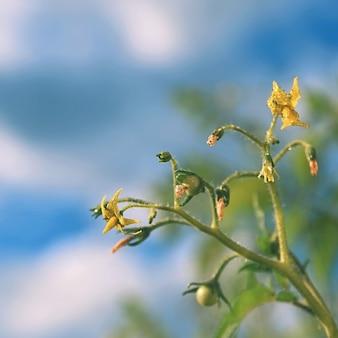Plantes aux tomates vertes fraîches. Fleur de tomate.