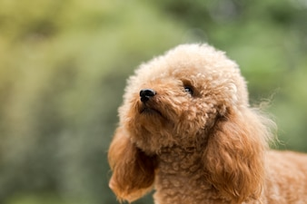 Poodle de jouet sur le champ de gazon