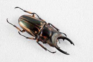 Prosopocoilus zèbre zèbre coléoptère