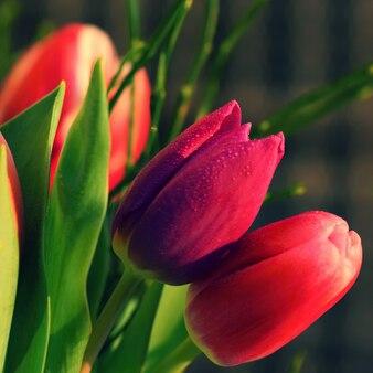 """""""Gros plan de tulipes rouges"""""""