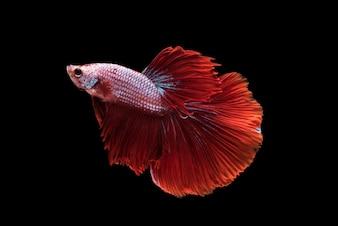 Red Halfmoon Betta splendens ou siamois combattant des poissons isolés