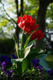 Pivoine rouge au printemps