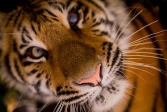 Rencontre avec un tigre