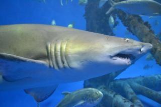 Requin d'aquarium