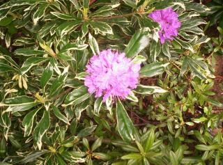 rhododendron varigated