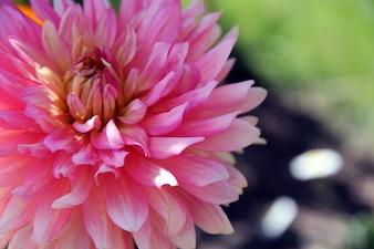 Rose foncé nature vert fleurs rose fleur