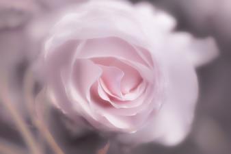 Rose rose en arrière-plan