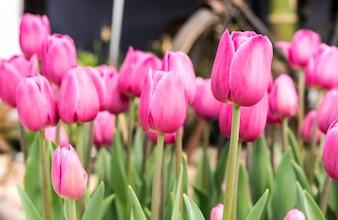 Rose tulipe au printemps