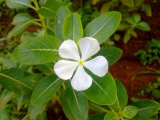 SAVAM nari fleur Catharanthus roseus