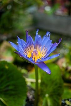 Seule couleur exotique de paix lotus