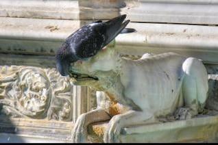 Sienne, en Toscane, en Italie, le pigeon
