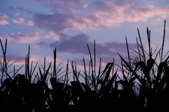 Silhouette champ de maïs