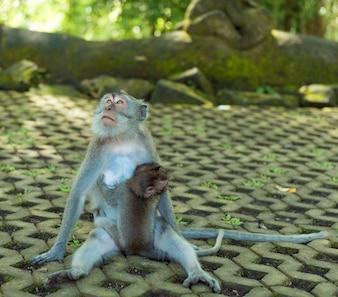 Singes à Ubud Bali