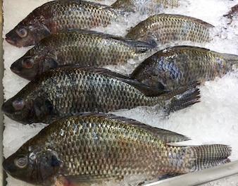Tilapia du Nil congelé Pêcher dans un tas de glace